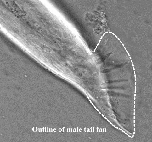 Outline of male tail fan