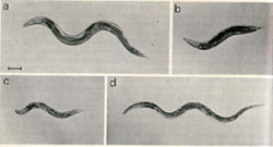 C. elegans mutants: a. normal, b. dumpy, c. small, d. long