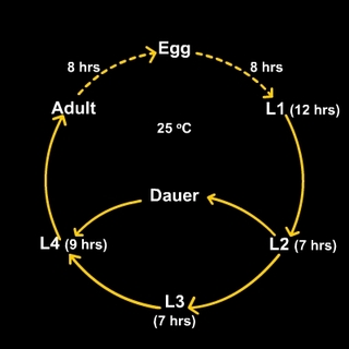 C. elegans life cycle: Click for more information